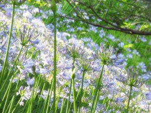 精道の校庭を彩るアガパンサスの花