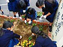 校庭に可憐なパンジーとビオラの花が仲間入り1