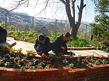 校庭に可憐なパンジーとビオラの花が仲間入り4